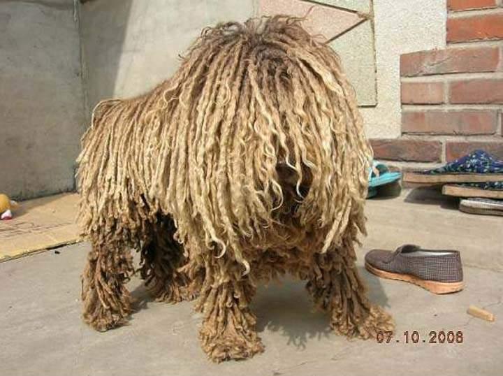 Rasta Dog Breed