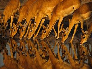 An impala