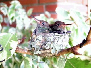 Rufous Tailed Hummingbirds back home