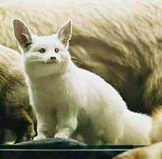 albino fox