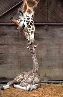 http://photos1.blogger.com/blogger/459/2465/320/giraffe.jpg