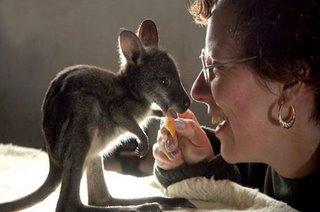 baby kangaroo with a lady