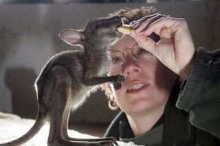 kangaroo keeper feeds joey