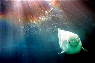 A beluga whale