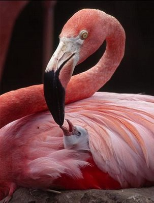 flamingo protecting and warming her baby