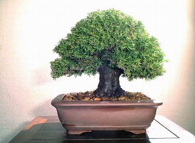 big tree look like bonsai