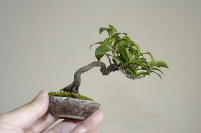 tiny bonsai