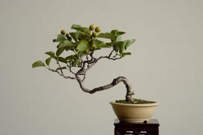 curve bonsai