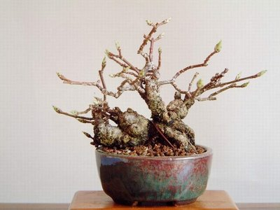 bonsai trunk and branches