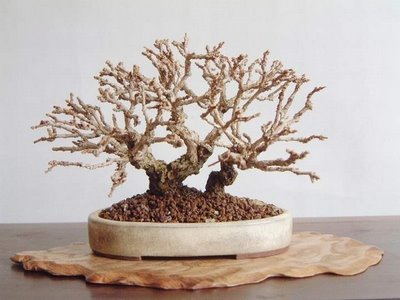 bonsai without leaves