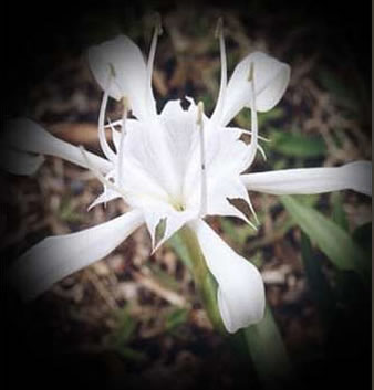 flower the hymenocallis