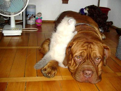 bulldog and cute cat