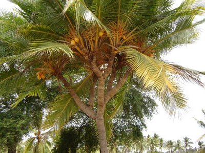 branch coconut tree