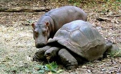 hippopotamus and his 'mother' tortoise