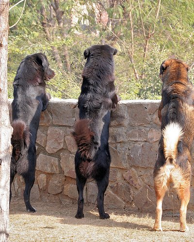 these dogs are a rare breed found more often in india these dogs