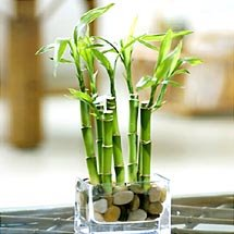 lucky bamboo disease