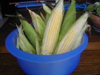 corn harvest, La Ceiba, Honduras