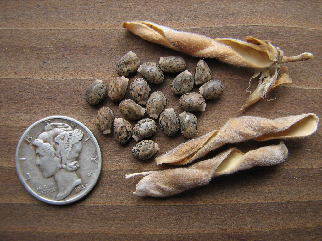 earth home garden: Saving The Seed Of Giant Lupine