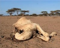 Dead Camel by WFP