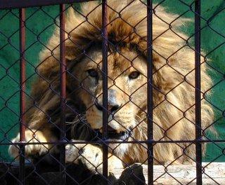 Lion image (c)kai.dokkyomen.ac