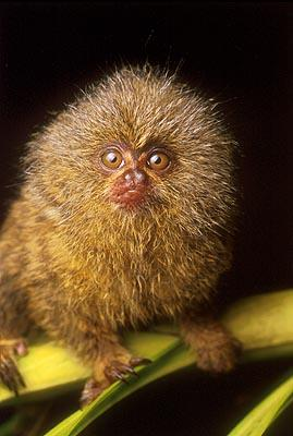 Who is this, disguised as a sneaky wee marmoset??