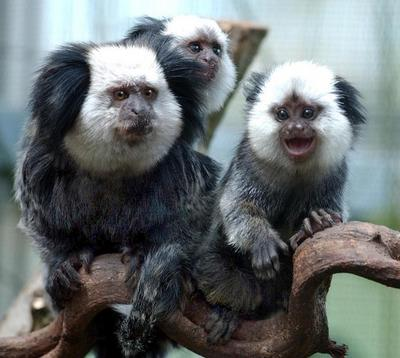 Marmosets... Sneaky Little Buggers!