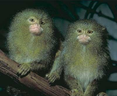 Watch Out for These Marmosets... They can be sneaky little buggers!