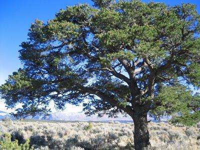 piñon tree