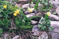 tulip kazakhstan