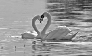 Heart of Swans