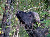 Angry buffalo, Masai Mara, Kenya safari wildlife