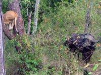 Buffalo holding Lion hostage, Masai Mara, Kenya safari wildlife