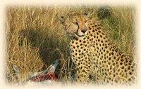 Cheetah with gazelle kill, Masai Mara National Reserve, Kenya