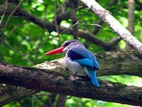 Kingfisher, Diani Beach, Kenya