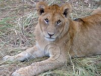Eye contact with a lion cub, Masai Mara, Kenya safari wildlife