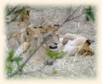 Lion pride, Masai Mara National Reserve, Kenya