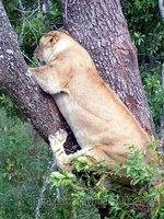 Lioness, awkwardly scrambling out of tree, Masai Mara, Kenya safari wildlife