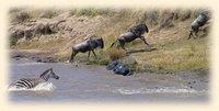Great Migration river crossing, Masai Mara National Reserve, Kenya