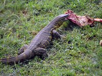 Monitor Lizard eating croc's leftovers, Masai Mara, Kenya safari wildlife