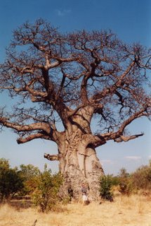 Baobab tree, Kenya, Africa