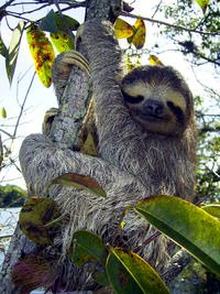 Brown-throated, three-toed sloth, courtesy of photographer Stefan Laube and Wikipedia