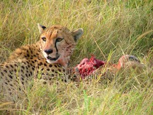 Cheetah with kill, Masai Mara, Kenya safari wildlife