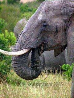Elephant eating, Masai Mara, Kenya safari wildlife