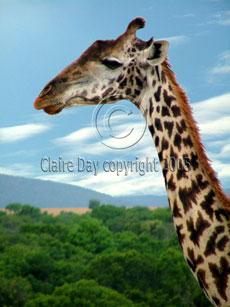 Giraffe, Masai Mara, Kenya safari wildlife