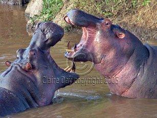 Photo: Hippos in Mara River, Masai Mara, Kenya safari wildlife