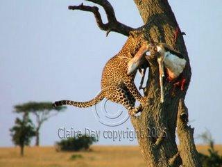 Leopard descending tree with gazelle, Masai Mara, Kenya safari wildlife