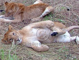 Lion cubs playing, Masai Mara, Kenya safari wildlife