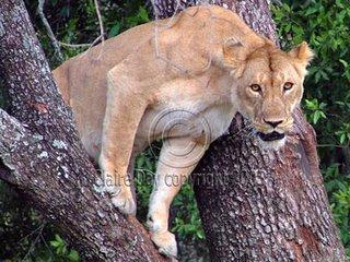 Lion in tree, Masai Mara, Kenya safari wildlife