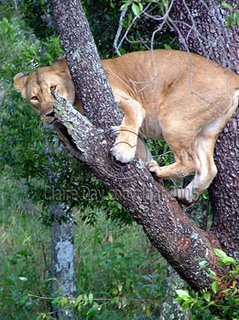 Lion still stuck in tree, Masai Mara, Kenya safari wildlife