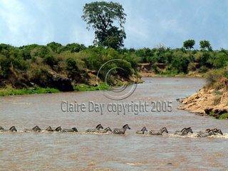 A real zebra crossing, Masai Mara, Kenya safari wildlife